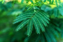 Albizia julibrissin (Persian silk tree) - stock photo