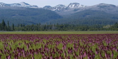 Purple wildflowers in mountain meadow with snow-dappled peaks in distance Stock Footage