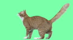 Red cat jumping on a green screen Stock Footage