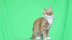 Funny ginger cat looks on green screen Stock Footage