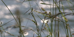 Wind-blown seeding grass against a soft-focus background Stock Footage