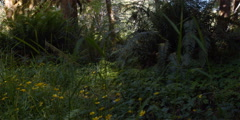 Grasses, wildflowers, and mossy understory of Olympic Peninsula rainforest Stock Footage