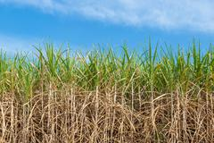 Sugar cane on field agriculture in thailand. - stock photo