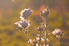 Thistle in the sun - stock photo