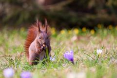 Squirrel amongst flowers Stock Photos