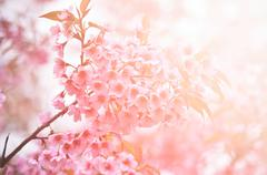 wild himalayan cherry flower with flare light - stock photo