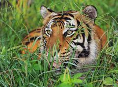Bengal tiger stalking in green grass. Stock Photos
