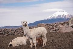 Alpaca against volcano - stock photo