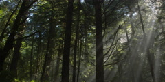 Right pan of slanting sunbeams through upper branches of tree tops Stock Footage