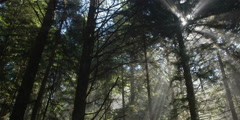 Right pan over tall conifers among slanting rays from sun behind treetops - stock footage