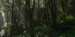 Left pan over forest understory to sun rays beaming through trees Stock Footage