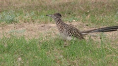 Greater Roadrunner in American Southwest Desert - stock footage
