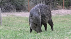 Javelina Collared Peccary Feeding at Big Bend National Park, Stock Footage