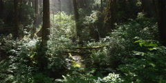 Tilt-up from rays falling on rainforest understory to bright sun behind treetops Stock Footage