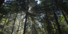Tilt-down from bright sun behind treetops to slanting rays falling on forest Stock Footage