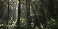 Misty rays of sunlight falling through tree trunks onto rain forest understory Stock Footage