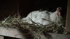 Hen with egg in a coop - stock footage