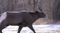 Bighorn Sheep Ram in Rut Chasing Females in Winter Stock Footage