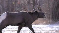 Bighorn Sheep Ram in Rut Chasing Females in Winter Arkistovideo