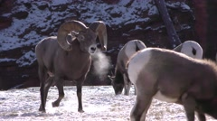 Bighorn Sheep Ram Breath Vapor and Herd in Cold Weather Stock Footage