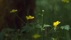 Buttercups against a soft-focus background of forest undergrowth Stock Footage