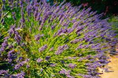 Lavender Flowers in Provence, France. Summer season - stock photo