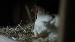 Hen in coop - stock footage