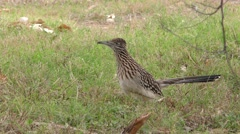 Greater Roadrunner Ground Cuckoo Bird at Big Bend Park Stock Footage