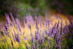 Stock Photo of Lavender Flowers in Provence, France. Summer season