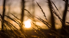 grass swaying in the sunset - stock footage