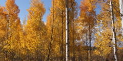Right pan across quaking yellow aspens Stock Footage