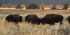 Herd of bison on autumn pasture near ranch buildings Stock Footage