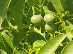 Stock Photo of Fruits of walnut on a branch