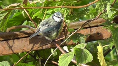 A blue tit moves and looks around on a branch and jumps to the next branch Stock Footage
