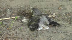 Fieldfare chick sits on the ground with spread wings Stock Footage