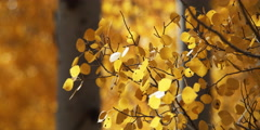 Close-up of fall aspen leaves moving in breeze, background soft focus quaking Stock Footage