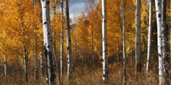 From base of aspen tree trunks to tree tops fall foliage quakes in breeze - stock footage
