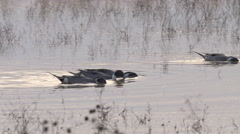 Close on Pintails Dabbling in Shallow Water Stock Footage