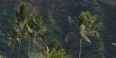 Palm trees swaying against a background of green Hawaiian mountainside Stock Footage