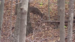 Whitetail deer monster 12 checking scrapes Stock Footage