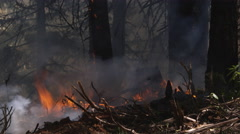 Flames shoot up from forest floor, tree bark on fire on large tree - stock footage
