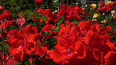 Seriously red roses sway in wind Stock Footage
