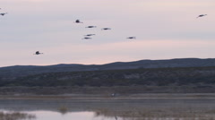 Sandhill Cranes Land in marsh at base of Mountain Stock Footage
