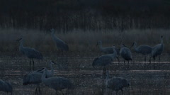 Slow Motion - Sandhill Cranes Land and Wade in Morning Light - stock footage