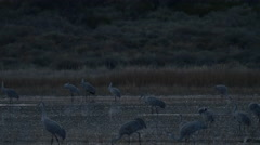 Sandhill Cranes Feed in Morning Dusk Light - stock footage