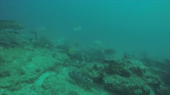Leopard grouper (Mycteroperca rosacea) Stock Footage