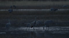 Sandhill Cranes Dunking Heads in Shallow Water At Dusk Stock Footage