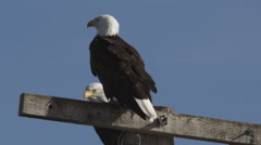Two Bald Eagles perched on a power pole Stock Footage