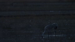 Two Sandhill Cranes Feeding in Shallow Marsh Stock Footage