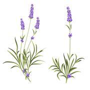 Set of lavender flowers - stock illustration